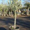 plant d'olivier pas cher