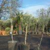plants d'olivier pas cher