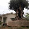 olivier europea millenaire