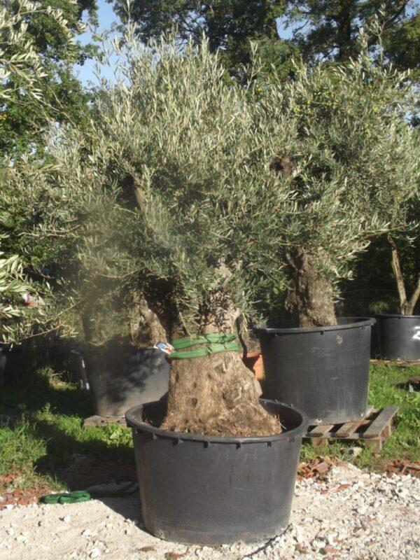 olivier europea