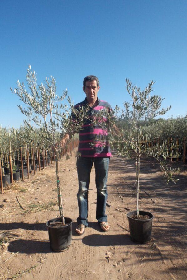 plants d'oliviers