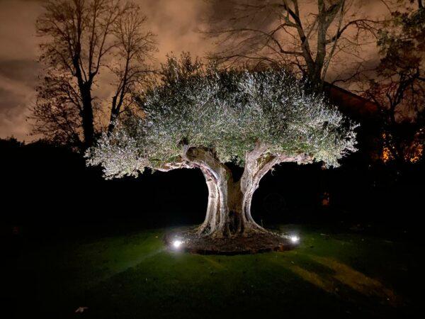 olivier europea multi centenaire