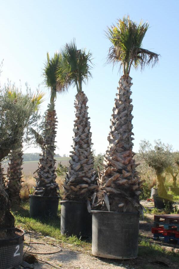 washintonia robusta