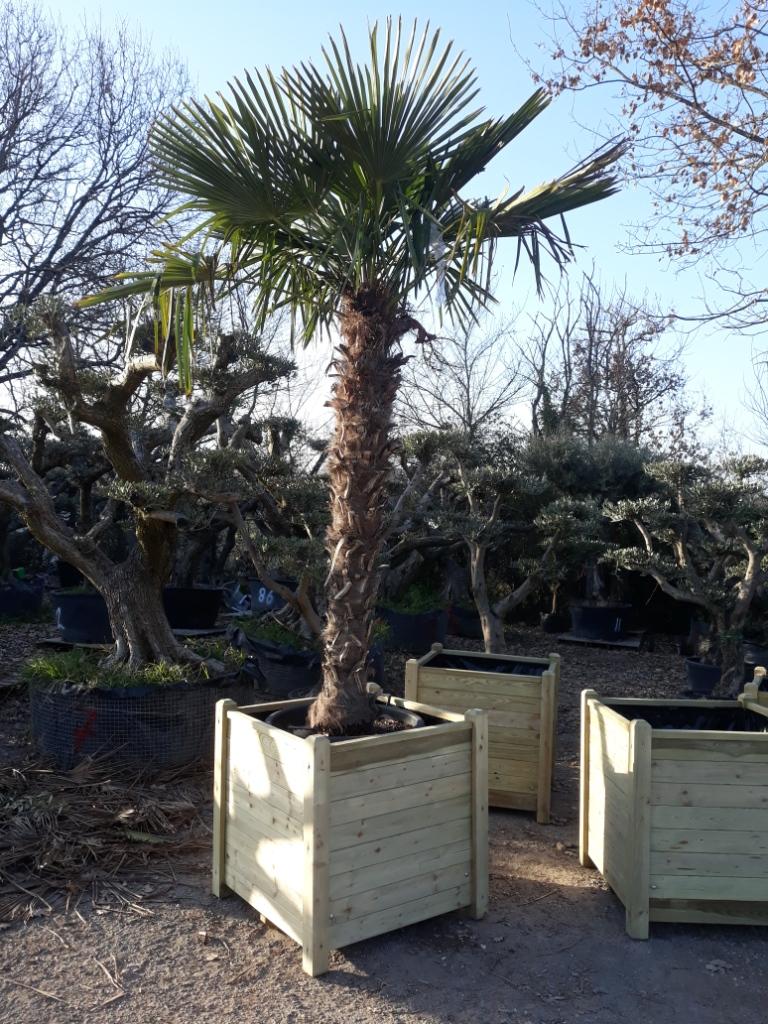 palmier fortunei