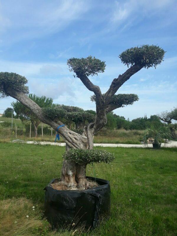 olivier europea nuages multi centenaire