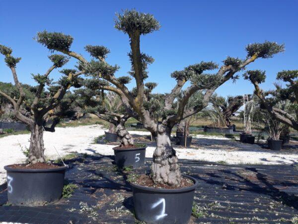 jeune olivier europea nuages