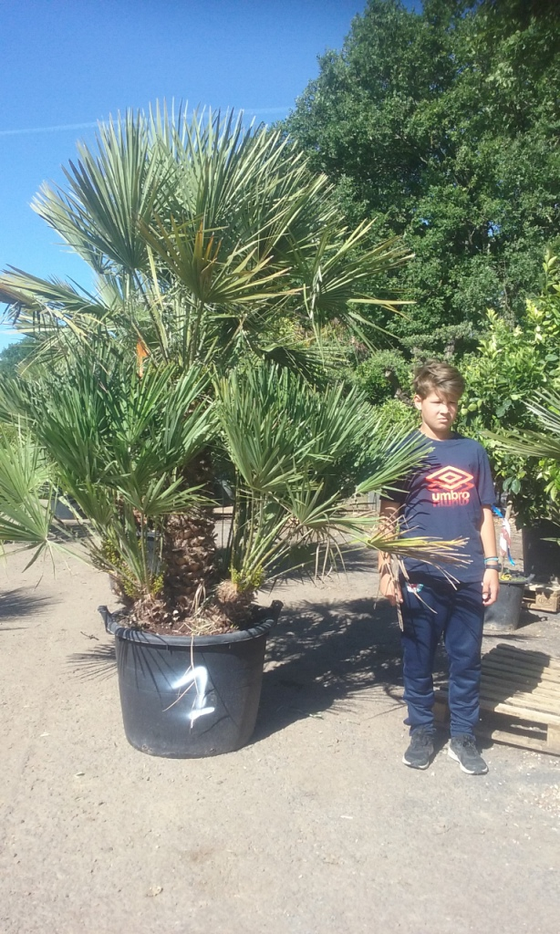 palmier nain chamearops humilis