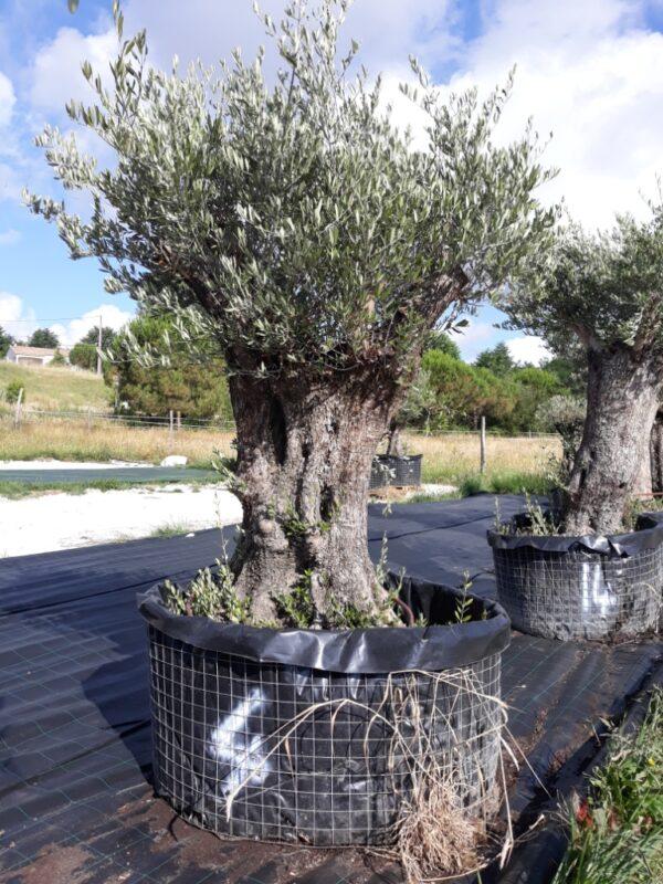 olivier europea hojiblanco multi centenaire