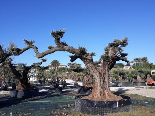 olivier nuage multi centenaire