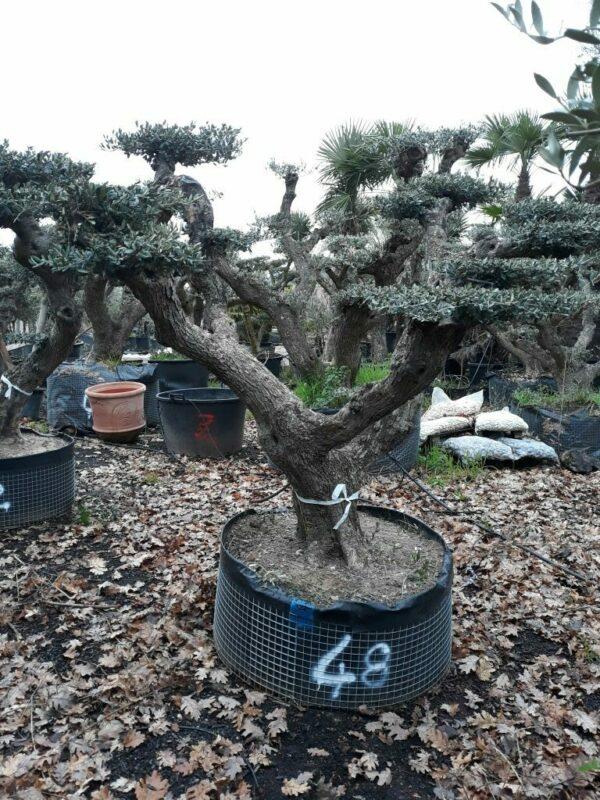 olivier nuage tronc vieilli