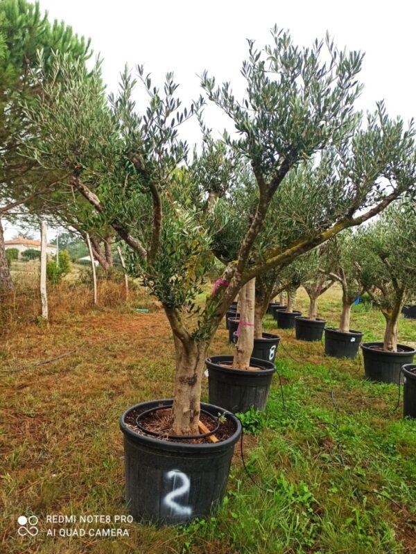 olivier europea multi bras