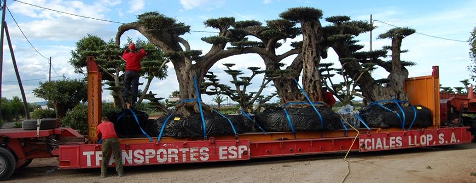 transport d'oliviers