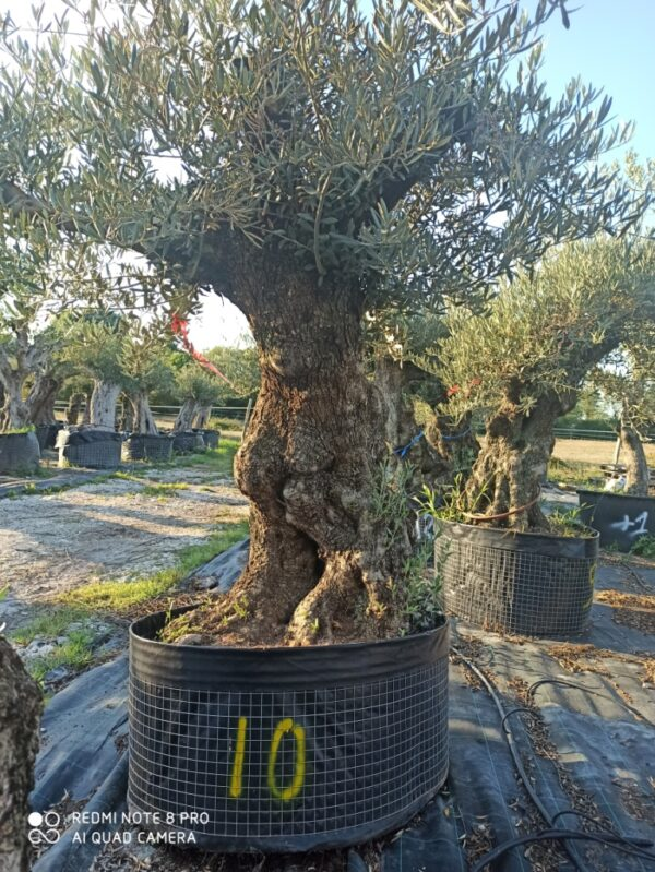 olivier europea 150 ans